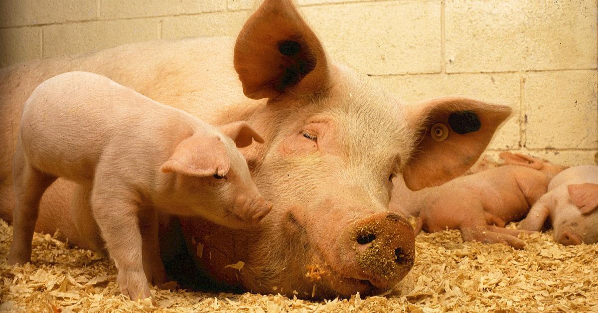 """""""Iso sika ei muista porsaana olua"""", kuuluu vihantilainen sananparsi."""
