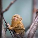 Pienet apinat ovat vikkeliä kiipeilijöitä. Terävien kynsien ansiosta ne pystyvät tarrautumaan tiukasti oksiin ja runkoihin.