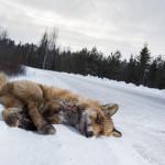 Punakettu on jäänyt auton alle Sastamalassa. Suomessa kuolee vuosittain noin 7 500 kettua liikenteessä.