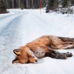 Suomessa jää vuosittain auton alle noin 7 500 punakettua. Raadonsyöjät syövät niiden lihat, mutta kauniit turkit menevät useimmiten hukkaan.