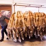Modifurissa käsitellään vuosittain 15 000 pienriistan turkkia. Suurin osa niistä on supeja, mutta myös punakettuja, näätiä ja mäyriä on paljon.