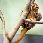 Pikkumarmosetin poikanen saa turvallisen kyydin lauman aikuisen naaraan selässä.