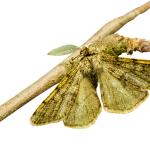 Kevään ensimmäiset perhoslajit talvehtivat yleensä aikuisina yksilöinä.