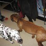 Nälkiintyneitä koiria Helsingin Herttoniemessä sijaitsevassa asunnossa, johon valvontaeläinlääkäri teki tarkastuskäynnin alkuvuonna 2010. Ruskea koira oli emä, joka imetti 13 pentuaan.