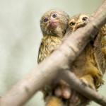 Me pikkumarmosetit olemme maailman pienin apinalaji.