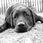 Masennuksen lisäksi koirille määrätään lääkkeitä eroahdistukseen.