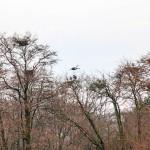 Pesiinsä laskeutuvat harmaahaikarat ovat Suomen kevään uljaita liitäjiä.