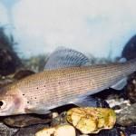 Rehevöityminen uhkaa meriharjusta.