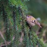 Antoisan linturetken kruunaa kuusikosta löytyvä, Euroopan pienin lintu, aikuisena vain yhdeksän grammaa painava hippiäinen.