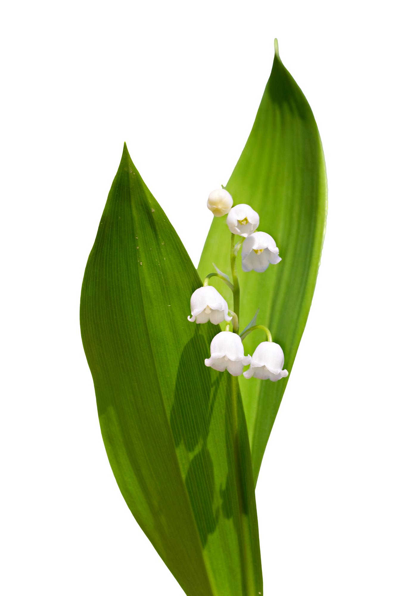 Touko-kesäkuussa kukkiva kielo on kaunis mutta myrkyllinen kasvi.