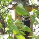 Raimo Valtosen kesämökin pihapiirissä on kolme linnunpönttöä. Jostain syystä vain tämä pönttö kiinnosti käpytikkaa.