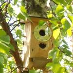 Säilyketölkin pohjasta tehty suojus linnunpöntön sisäänmenoaukon ympärillä ei estänyt tikkaa pääsemästä sisään.