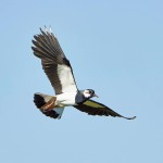 Lintujen syysmuuttoa tapahtuu koko kesän ajan.