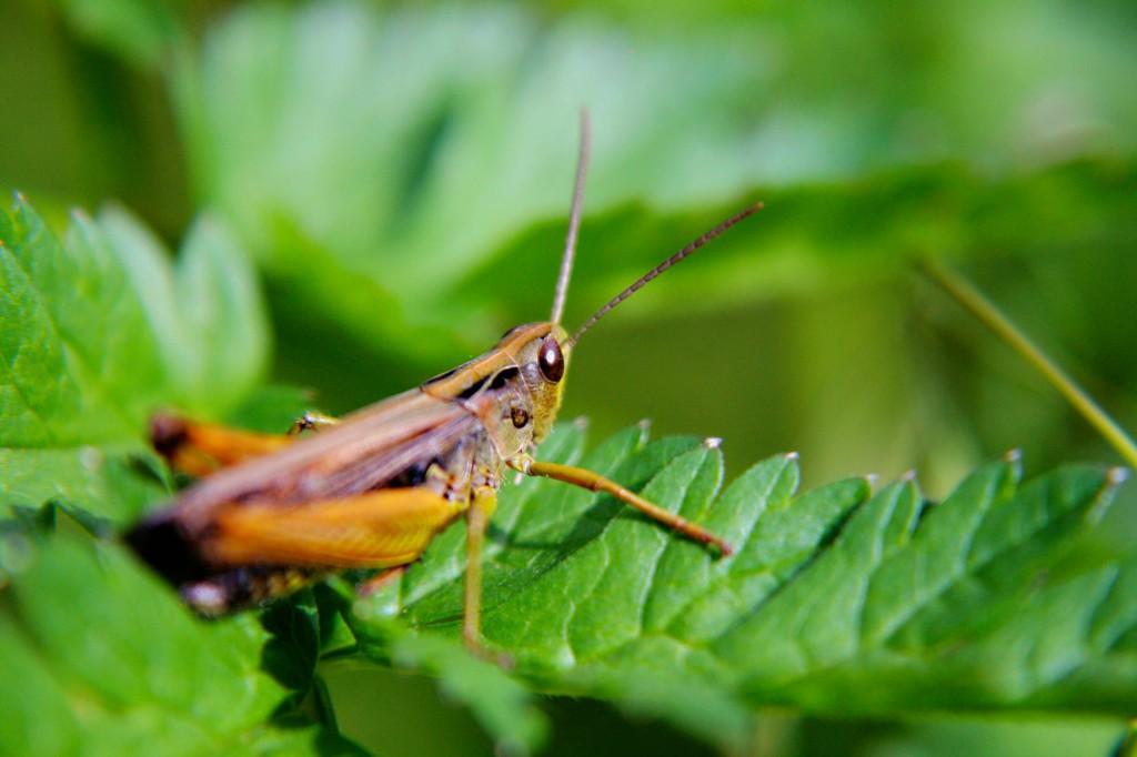 Heinäsirkka ääni