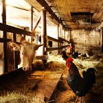 Kanat ja lehmät käyskentelevät Aarne ja Anna-Liisa Juhonsalon vanhassa navetassa sulassa sovussa.