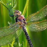 Ravintoa hankkiessaan sudenkorennot tekevät sekä partio- että väijymislentoja.