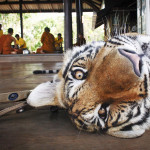 Tiikeritemppelin kanjonin helteessä iso tiikeri on niin raukea, että turisti pääsee maksua vastaan makaamaan sen viereen.
