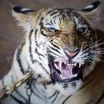 Tiikeri ei koskaan kesyynny kokonaan. Vankeudessa syntyneenä ja ihmisten keskellä eläneenäkin sillä on yhä pedon vaistot.