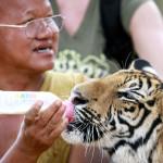 Apotti Chan eli Phra Acham Phu on mukana iltapäivisin kävelyttämässä tiikereitä. Turistien iloksi myös itse apotti saattaa tarjota pennuille tuttipullosta maitoa.