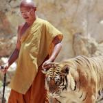 Kun turisteilla järjestettävä maksullinen ohjelma on päättynyt, apotti Chan taluttaa tiikerin takaisin häkkiinsä.