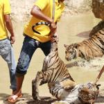 Kun tiikerinpentu päättää olla liikkumatta, niin se ei enää puhetta usko. Keskenkasvuista tiikeri voidaan kuitenkin nostaa hännästä jaloilleen.