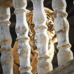 Pylvääseen kytketty tiikeri tähyää alas temppelin terassilta. Kuvan yksivuotias uros on syntynyt Wat Pa Luangta Bua Yannasapannon temppelissä.
