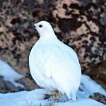 Talvella riekko on valkoinen. Se viihtyy pohjoisen Suomen pensasmaisilla tundravyöhykkeillä.