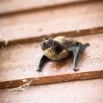 Lepakko hakeutuu talviunille rakosiin ja koloihin ja nukkuu talviunta makuulla.