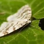 Mittariperhoset lentelevät usein pimeän suojissa.