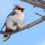 Töyhtöpäinen tilhi on kaunis lintu.