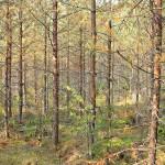 Isot puut eivät normaalisti kuole männynversosurmaan, vaan menettävät ainoastaan alaoksansa.