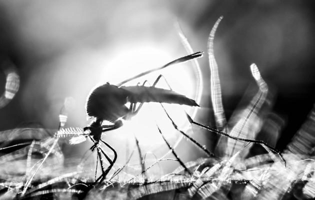 Milloin hyttyset tulevat