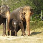 Kahdeksan kuukauden ikäinen Pin sai turvapaikan norsujen pelastuskeskuksesta.
