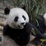 Panda syö tuoretta bambua tutkimus- ja kasvatuskeskuksessa Kiinan Chengdussa.