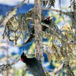 Palokärki-pariskunta keväisessä tikkametsässä. Naaraalla (alempi lintu) on vähemmän punaista päälaella.