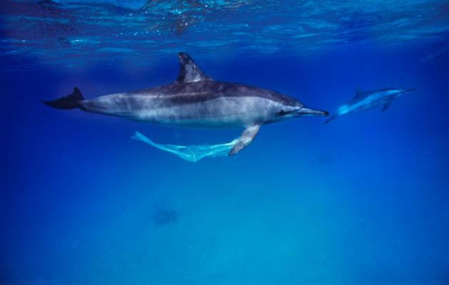 Z9200162-Spinner_dolphins-SPL-630x400.pn