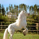 Ylväs ori The Blue Boss esittää hevosen tanssin.