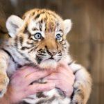 Tiikerinpennut ovat vielä pieniä karvapalleroita, mutta pian niitä on enää turha edes yrittää nostaa syliin.