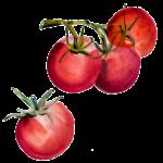 Tomaatin koti sijaitsee Etelämantereella.