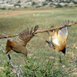Liimatikku voi koitua muuttomatkallaan olevien lintujen kohtaloksi.