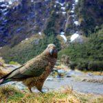 Iloinen lajitoverin laulu saa kea-papukaijan paremmalle tuulelle.