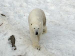 Jääkarhu Ranuan eläinpuistossa.