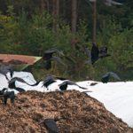 Jyrin jäteasemalla majailee 20–30 korpin parvi. Ruokaa etsiessään ne nokkivat reikiä valkoisiin muovituubeihin, joissa kompostoidaan Outokummun kaupungin biojätteet.