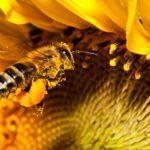 Mehiläinen on pölyttäjähyönteinen. © ISTOCK