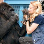Koko-gorilla on ollut Penny Pattersonin hoivissa jo yli 40 vuotta.