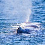 Valas tyhjentää hengitysaukostaan valtavan suihkun vettä.