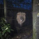 Leijona karjahtelee Korkeasaaren yössä.