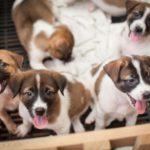 Ulkomailta tuotavat koirat voivat lisätä antibioottiresistenssiä.