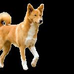 Saudi-Arabiasta löytyneissä kalliokaiverruksissa on muun muassa metsästäjä koiralauman kanssa. Koirien ulkonäkö muistuttaa laikkujen tarkkuudella kaanaankoiraa, joka on alueella edelleen suosittu koirarotu.