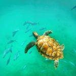 Barbadoksella voi uida, snorklailla ja sukeltaa merikilpikonnien kanssa.